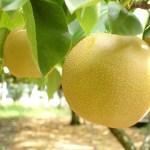 梨の保存方法は冷凍がいい?長期保存用のジャムとコンポートの作り方