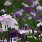 花菖蒲の名所関東のおすすめ7選。花の見頃の時期や花言葉は?
