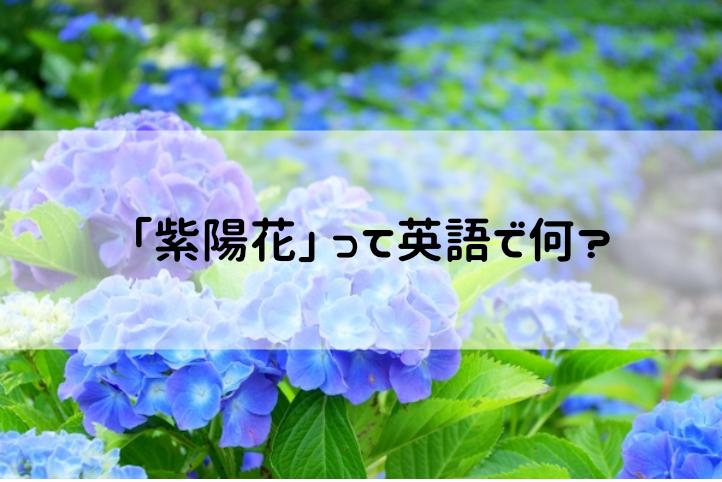 紫陽花(あじさい)の英語名は?【音声付き発音・読み方・例文】