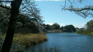 名古屋城桜