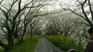 神戸輪中堤桜並木