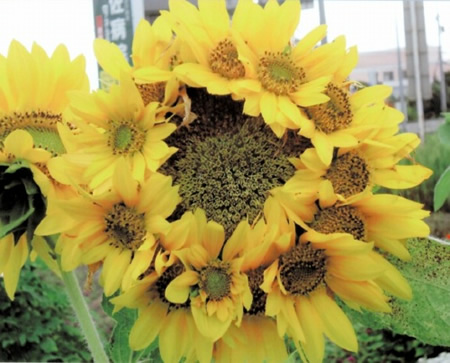 Mutated sunflower in Kagawa prefecture