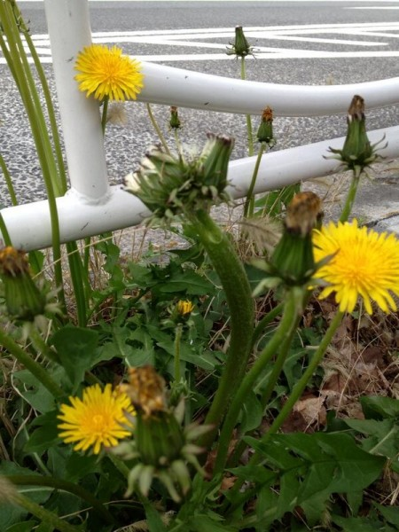 """[Not Radiation Effect] """"Mutated dandelions are all along the pavements in Koto ward Tokyo"""""""