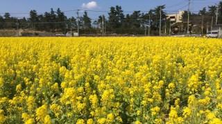 【福岡・パワースポット】菜の花が満開のおすすめスポット4選