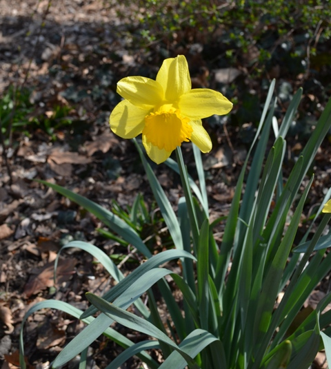 Daffodils in Central Park