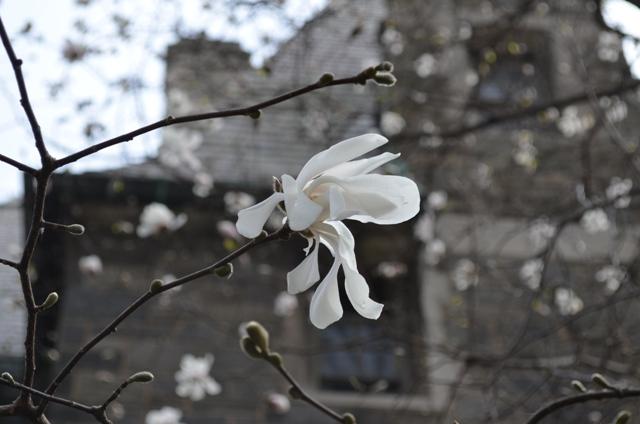 White Spring Flower on Upper West Side