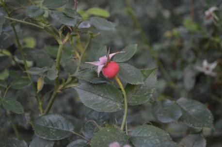 Rosebud in Riverside Park