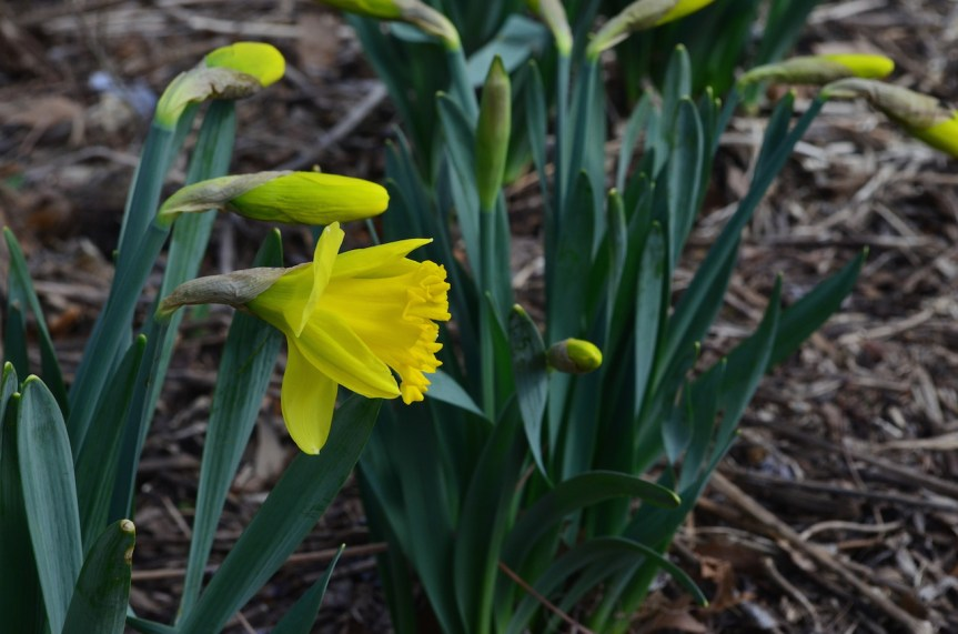 Yellow Daffodil In Central Park