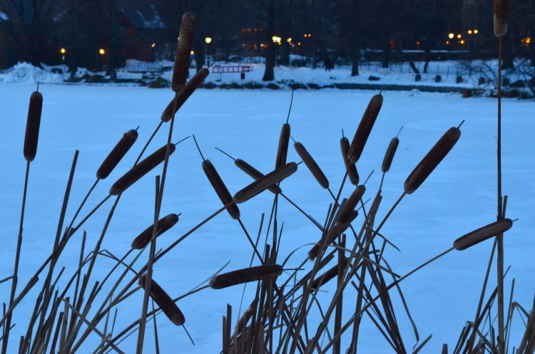 Reeds at the Edge of a Frozen Pond