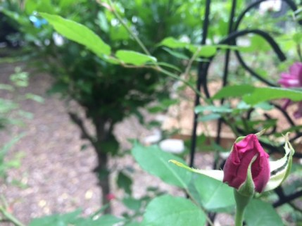 Harlem Rose Garden