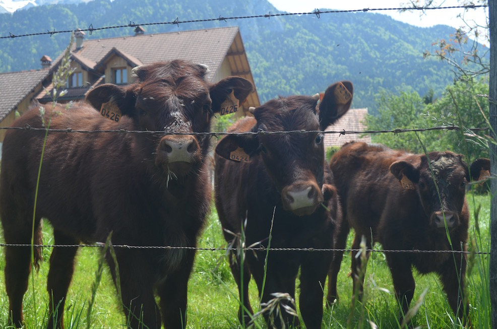 French Calves