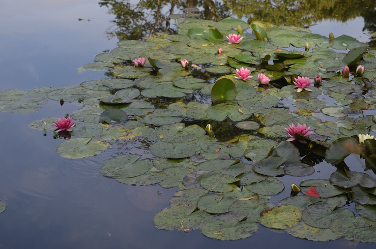 Red Water Lilies at Claude Monet Garden