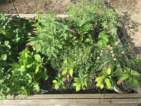 Fresh Sage in Harlem Community Garden