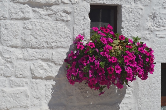 Fuchsia Color Flowers in Alberobello