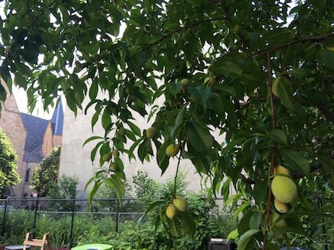 Peach Tree New York City