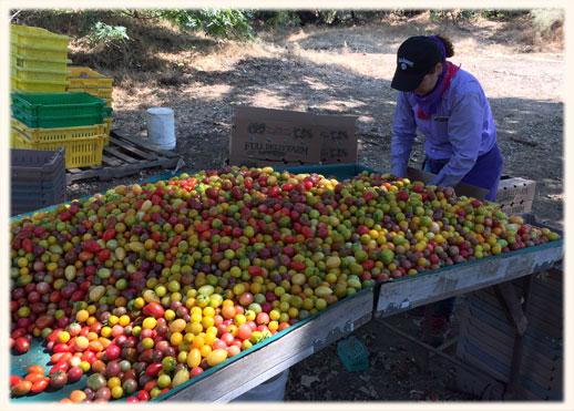cherry_tomatoes
