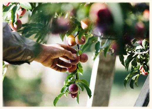 picking_peaches