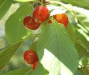 Lapins sweet cherries