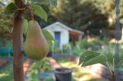 espalier pear