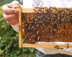 Queenless hive frame w/ laying worker drone brood