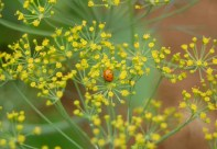 ladybug on dill