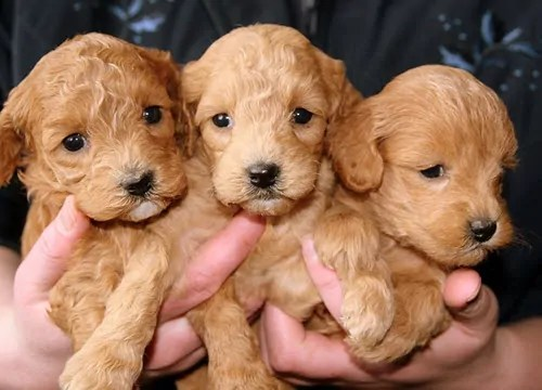 pixabay-puppies-688425