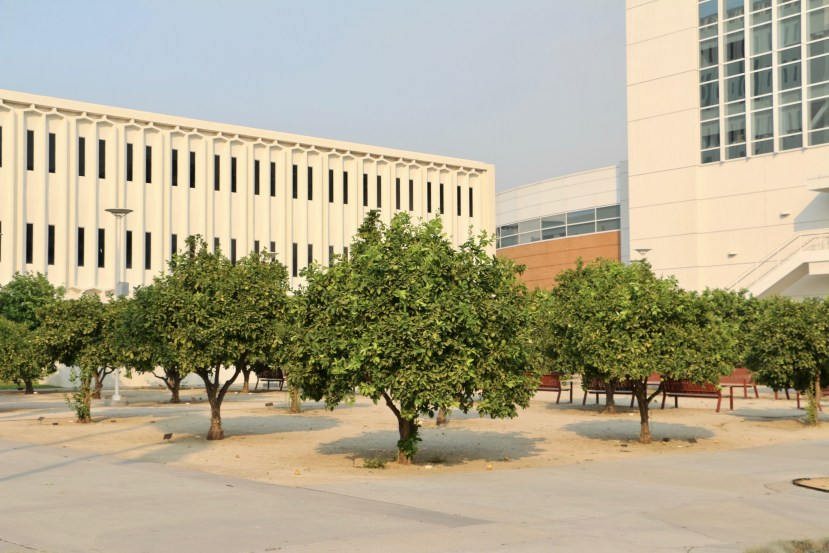 orange trees at Cal State Fullerton