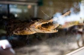Siem Reap - The crocodile