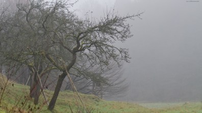 Foggy appletree