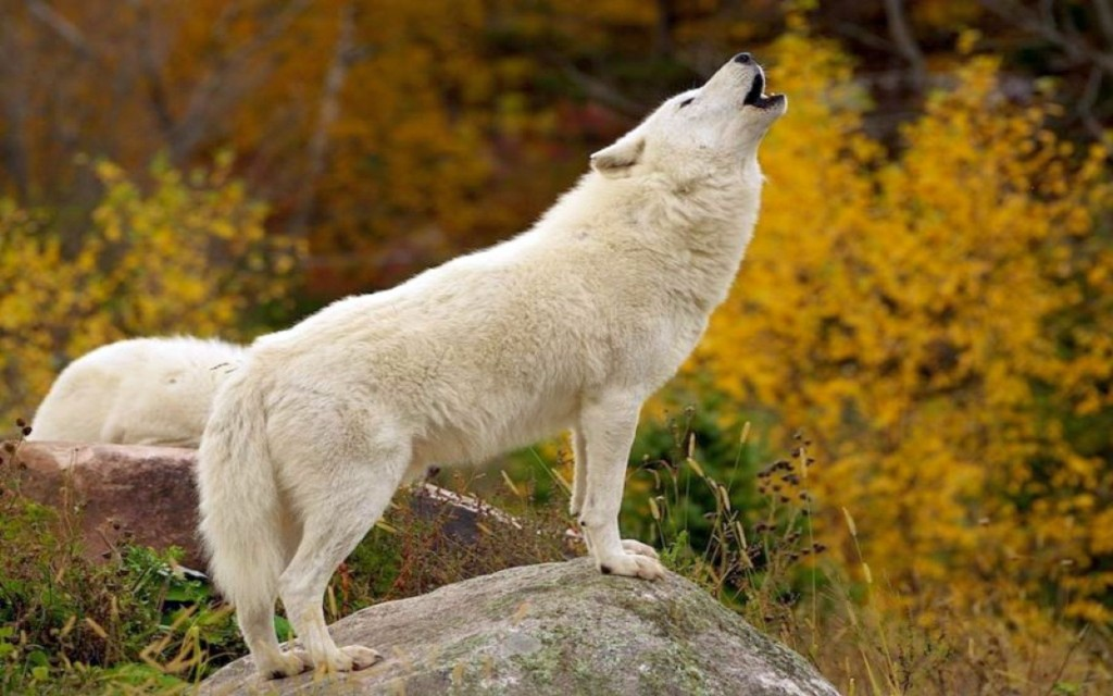 White Wolf Photos HD Full HD Pictures