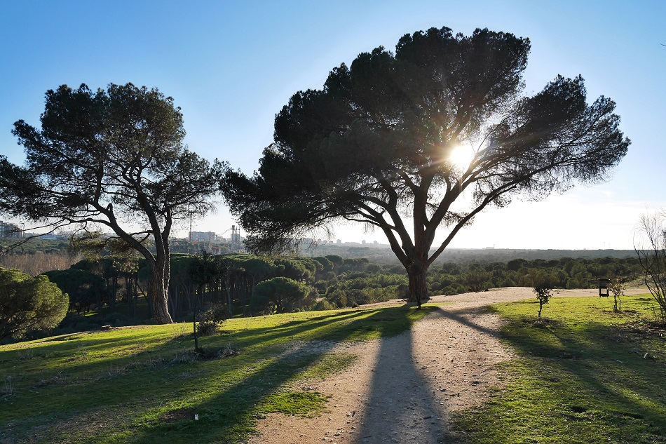 Stone pines in Madrid's Casa de Campo park.