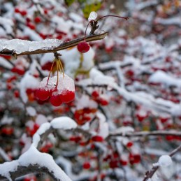 West Rogers park had these trees that had these red berries that froze in a November snowfall.