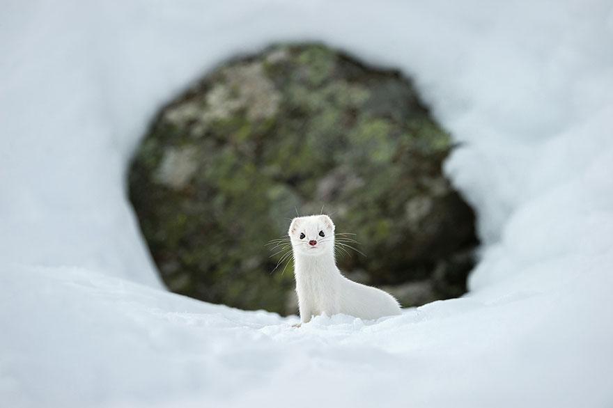 11. Белый как снег, Национальный парк Гран Парадизо, Италия. Фото: Stephano Unterthiner.