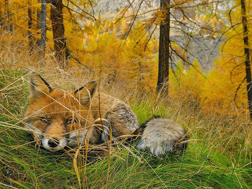 9. Лиса, Национальный парк Гран Парадизо, Италия. Фото: Stefano Unterthiner.