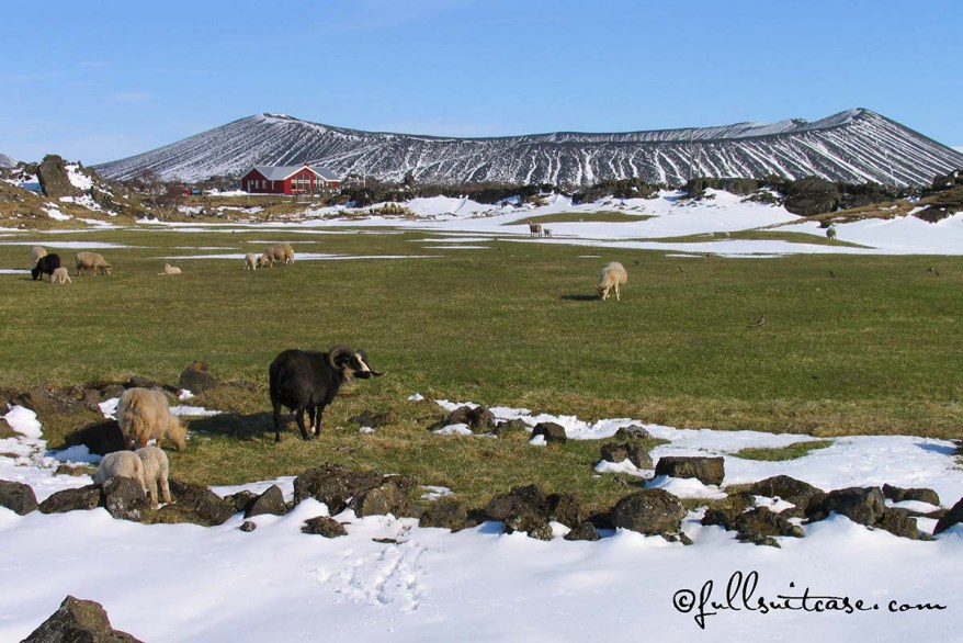 Volcano and Sheep in Northern Iceland