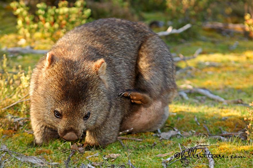 Wombat in Cradle Mountain-Lake St Clair National Park in Tasmania