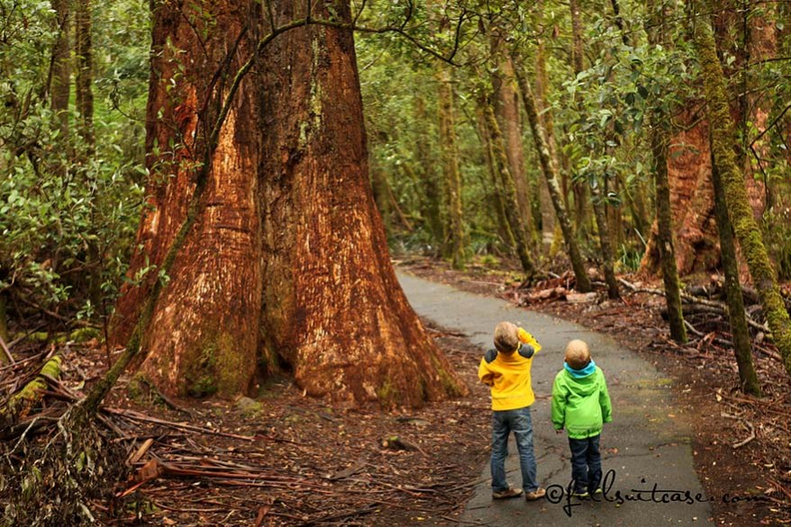 Children standing under giant trees in Tasmania