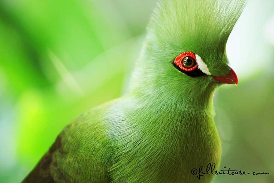 Green Knysna Loerie bird in South Africa