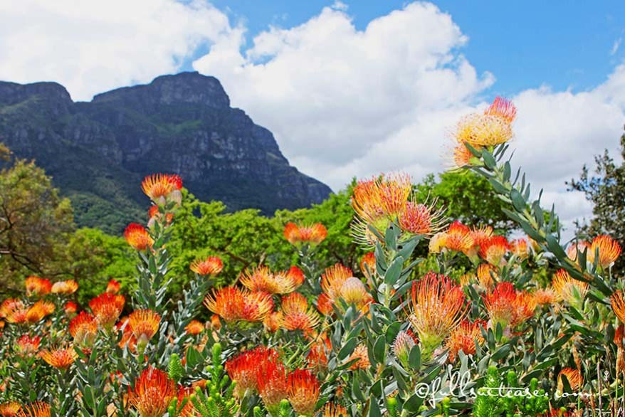 Pincushion Proteas at Kirstenbosch botanical garden in Cape Town