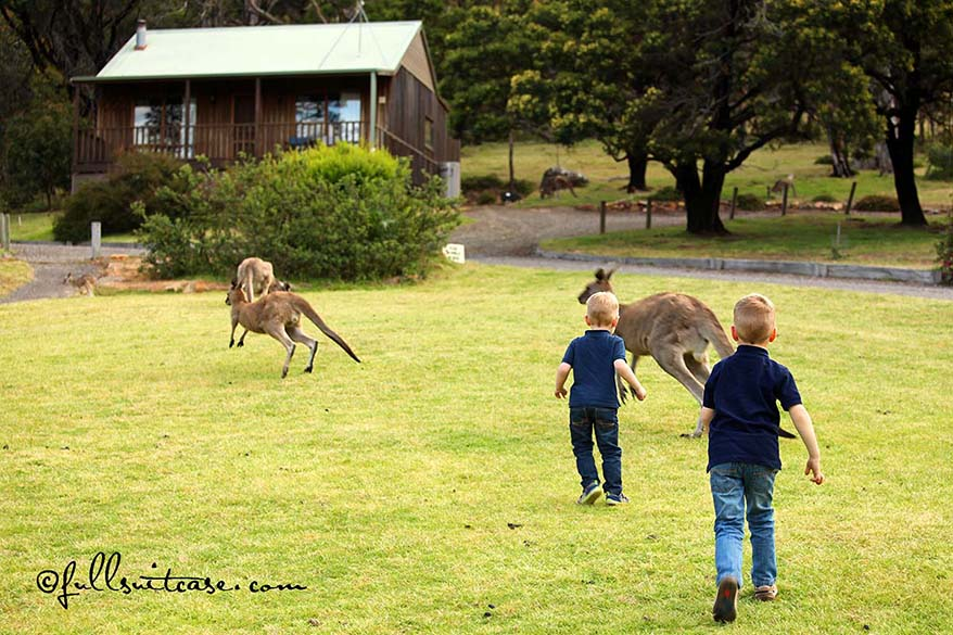 Children chasing wild kangaroos in the Grampians NP Australia