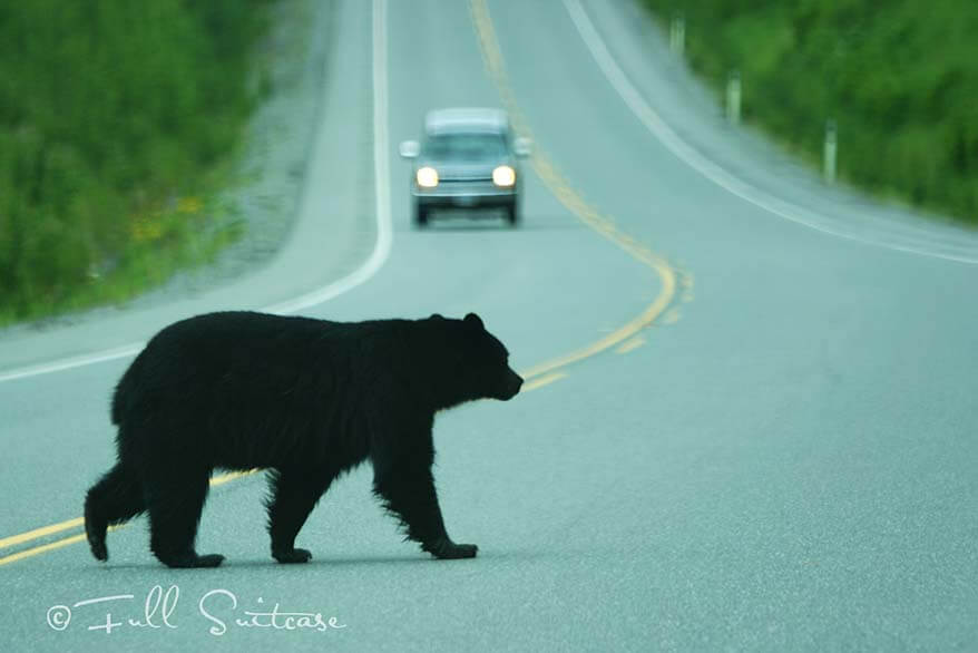 Black bear crossing the road in Canada
