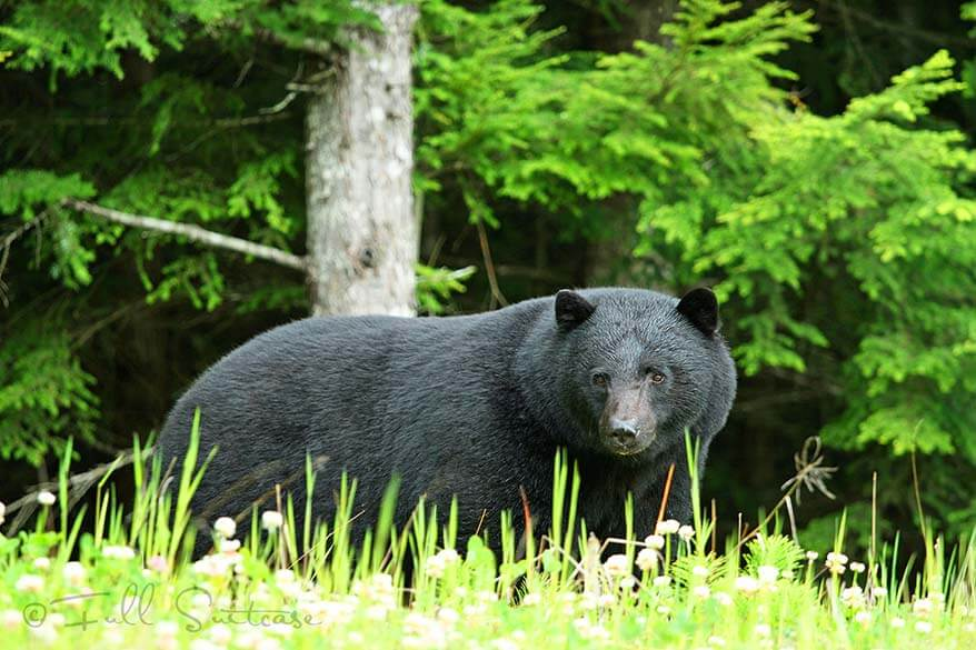Black bear next to the road in BC Canada