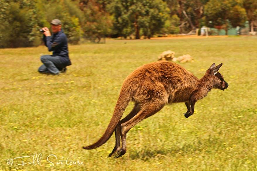Jumping kangaroo on Kangaroo Island