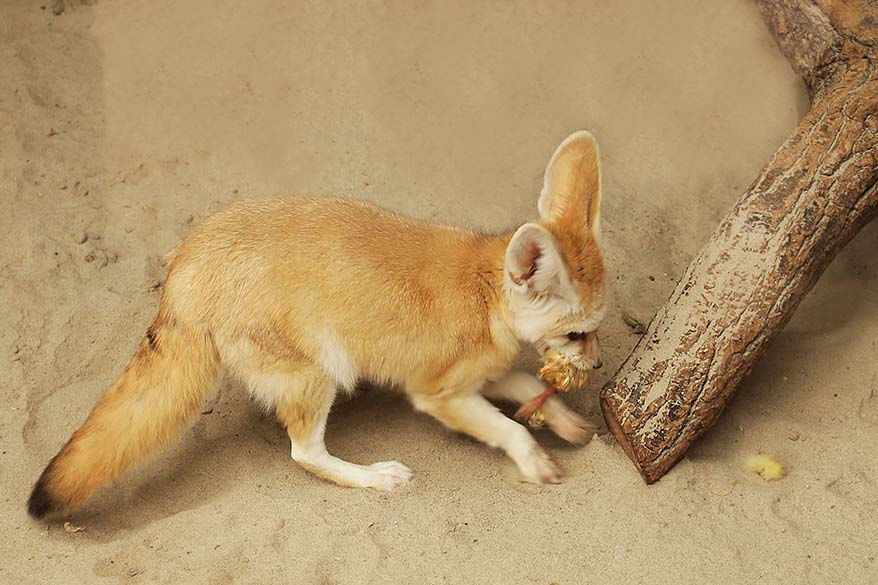 Desert fox (Fennec fox) hiding its prey in a zoo in Strasbourg