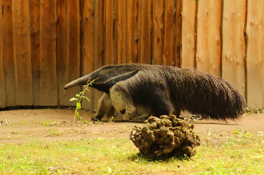 Giant anteater in Planckendael