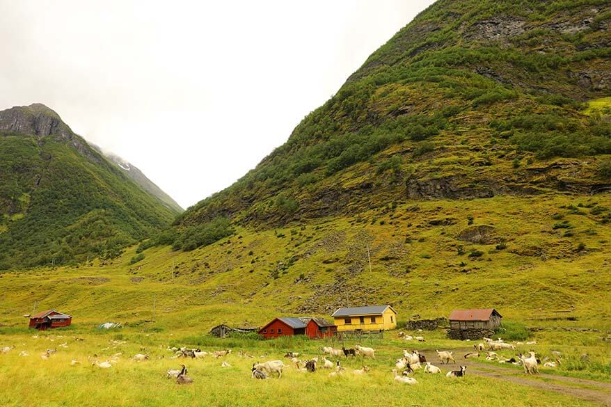 Goats at a farm on the way to Undredal between Gudvangen and Flam in Norway