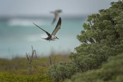 Sooty Tern (Onychoprion fuscatus) at the breeding colony on Bush Key