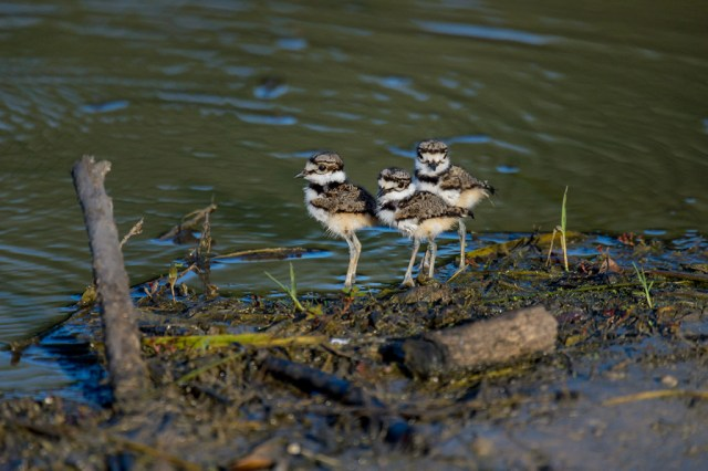 Killdeer (Charadrius vociferos) chicks out of the nest