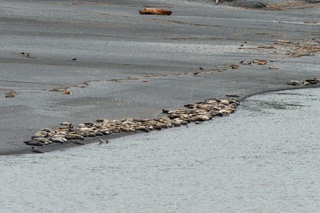 Sea Lions Basking,  Klamath River Estuary, CA