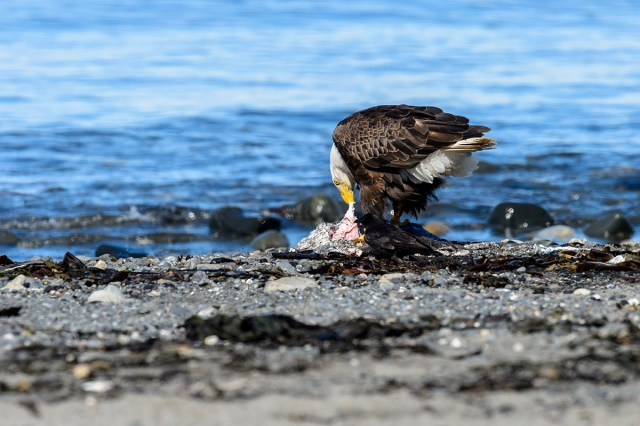 Photography Bald Eagle (Haliaeetus leucocephalus) having dinner at Anchor Point, AK